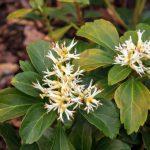 Die immergrünen Blätter der Pachysandra terminalis